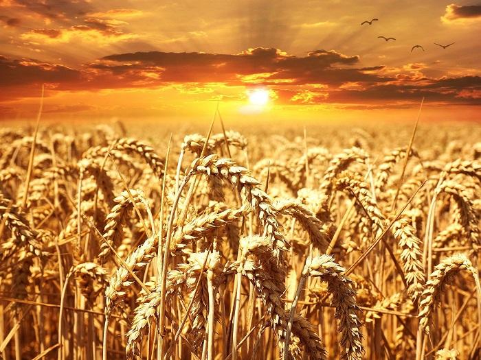 Pšenica sa pridáva aj do piva